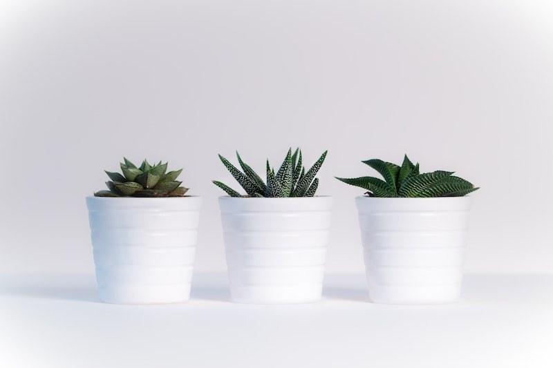 Three succuelents growing in pots